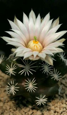 Cactus Flower, Cactus Plants, Planting Flowers, Beautiful, Cactus, Garden, Succulents, Plants, Flowers