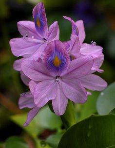 Water Hyacinth - these are illegal to have in your water garden in Florida, but up North enjoy! No better natural water filter. Exotic Flowers, Amazing Flowers, My Flower, Purple Flowers, Wild Flowers, Beautiful Flowers, Beautiful Pictures, Pond Plants, Aquatic Plants
