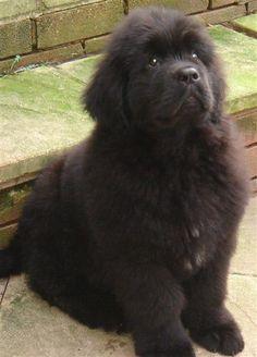 Newfoundland puppy!!!! I want one soooo badly!