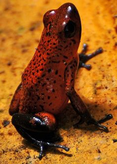 Poison Dart Frog. Even these.