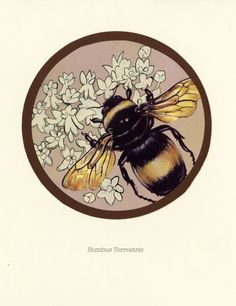 Scientific Illustration   snippets-and-snatches: Some bees, from...