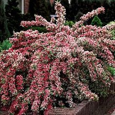 Variegated Weigela Bush - Late Spring to Fall 4-6 ft.