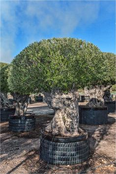Olive Trees Trunks Pom From Palm Farm For
