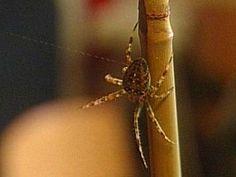 Spinnendraad: proefje. Vang een kruisspin. Verder heb je nodig: een emmer, stevig zand, een stokje, een ventilator en water. Help de spin met oversteken!