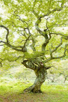 Chartreuse tree