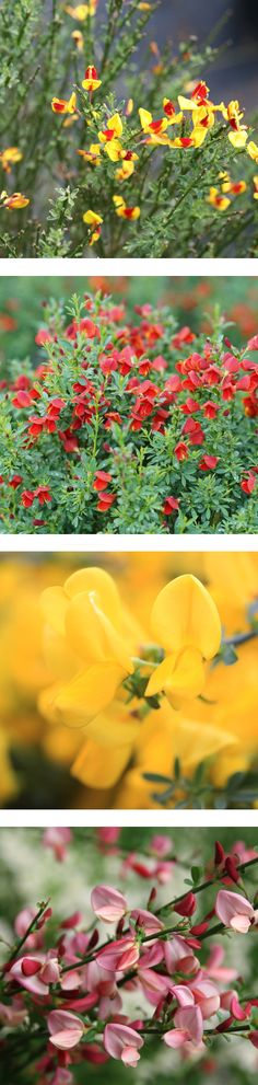 The Sister series of Scotch Broom shrubs will add joy and delight to your spring garden with their bright colors, especially when paired with colorful spring blooming bulbs like daffodils, tulips, and crocus. If you've been looking for plants that thrive in hot, sunny sites look no further. Oh, and did we also mention they are extremely deer resistant too? Proven Winners, Unusual Plants, Backyard Retreat, Spring Garden, Daffodils, Scotch, Shrubs, Gardening Tips, Bright Colors
