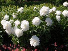 Pioni Candels, Balcony Garden, White Flowers, Rose Flowers, Green, Nature, Plants, Backyard Ideas, Roses