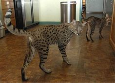 Savannah cat. It's a cat that looks like a leopard with the temperament of a dog. - Imgur