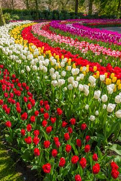 When & Where to See the Tulips in Holland (the Netherlands). Just 30 minutes from Amsterdam! Wallpaper Nature Flowers, Beautiful Landscape Wallpaper, Flower Background Wallpaper, Beautiful Flowers Wallpapers, Flowers Nature, Beautiful Landscapes, Most Beautiful Gardens, Beautiful Flowers Garden, Amazing Flowers