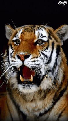 Tiger Animation