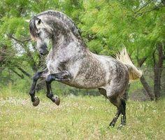 Andalusian, Pura Raza Española, stallion Ilustrado Pro. photo: StunningSteeds.