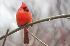 To go with my last post here is the familiar male Northern Cardinal :) . Northern Cardinal, Go With Me, My Last, Birdwatching, Feather, To Go, Birds, Photos, Animals