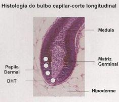 bulbo capilar histologia.png