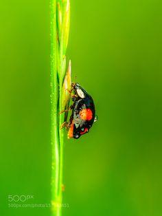 wet ladybug by riankrenzer #nature #photooftheday #amazing #picoftheday