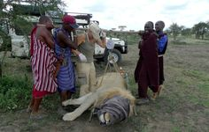 Serengeti Lion Project Report December 2013   exclusively prepared for ADS:  http://www.africadreamsafaris.com