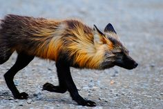 In Denali National Park, Alaska  #fox #red_fox #Vulpes_vulpes
