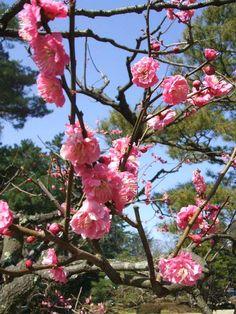 兼六園の梅の花 / Japanese plum tree