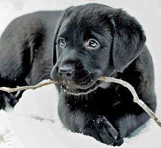 Black Labrador Retriever. Saved from The Daily Puppy