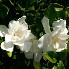 Southern Living Plant Collection 1 Gal. Gardenia Jubilation-2096Q - The Home Depot