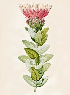 Protea (Sugar bush) by Aimé Bonpland -- From Aimé Bonpland and Pierre Joseph Redoute, Description des plantes rares à Malmaison (Paris, 1813).