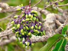 Fruto do cerrado/Brazilian Savannah Fruit