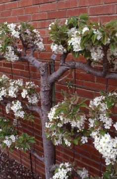 Flowering wall vine