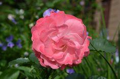 Pernille Poulsen – ruusu | Vesan viherpiperryskuvat – puutarha kukkii