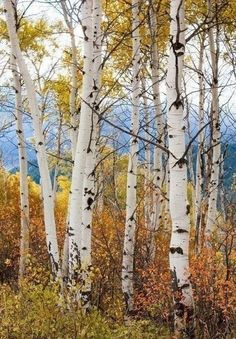 Fall Aspen trees landscape photography by Arodgersphotos Landscape Photos, Landscape Art, Landscape Paintings, Landscape Photography, Nature Photography, Watercolor Trees, Watercolor Landscape, Pictures To Paint, Nature Pictures