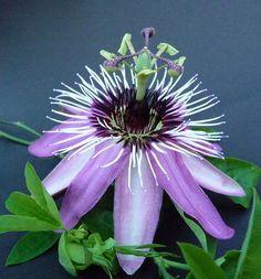 Passiflora ♥