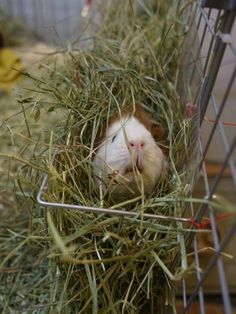 Hay for guinea pigs click http://smallpetselect.com/timothy-hay/ to spoil your piggies with the best timothy hay delivered FRESH to your door!