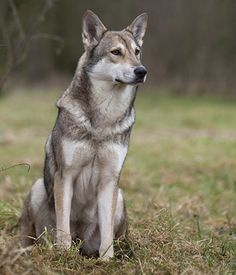 All of the pictures of saarloos wolfdogs look exactly like my dog. I don't feel special anymore, but he still is the most amazing dog I've ever had.