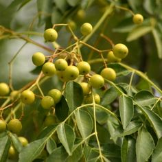 Invasive Species South Africa - Protecting Biodiversity from Invasion - Syringa African Tree, Alien Plants, Pepper Tree, Tree Felling, Invasive Plants, South Africa, Flora, Fruit, Environment