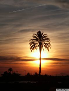Hayalci Gezgin: Elche Palmiyelikleri, İspanya / Elche Palm Trees, ...
