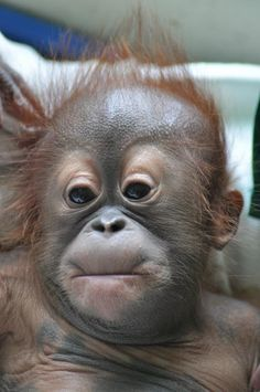Baby Orangutan chilling I'm not saying one thing that's my story and I'm sticking tonit Primates, Cute Baby Animals, Animals And Pets, Funny Animals, Strange Animals, Wild Animals, Baby Orangutan, Cute Monkey, Tier Fotos