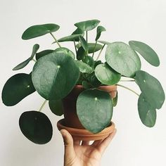 Is this the cutest Pilea ever?