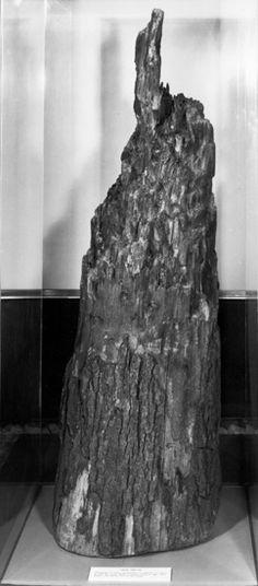 Civil War fighting was so fierce at Bloody Angle (in Spotsylvania VA) a 22 inch oak tree was felled by the gunfire. Chancellorsville Battlefield