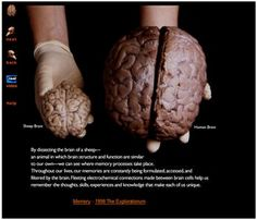 Cow brain anatomy