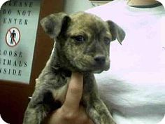 Phx, Az.     Breed:    American Pit Bull Terrier Mix    Color:    Unknown    Age:    Puppy        Size:    Small 25 lbs (11 kg) or less    Sex:    Male     ID#:    5167631      A3227946's Story...       Act quickly to adopt A3227946. Pets at this shelter may be held for only a short time.