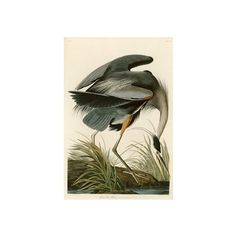 Great Blue Heron Giclee Print Wall Art (€54) ❤ liked on Polyvore featuring home, home decor, wall art, blue wall art, giclee wall art, blue home decor and blue home accessories