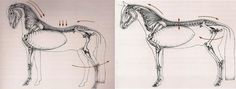 Left, a weak Multifidus the allows spine to dip; while at right, a strong Multifidus keeps the spine flat.