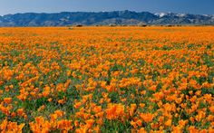 Golden poppies bloom throughout the Mojave Desert region in March, but the 1,760-acre Antelope Valley Poppy Reserve claims the finest concentration of California's state flower.