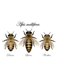 Shop European honey bee (Apis mellifera) created by Pandemonia. Nature Tattoos, Body Art Tattoos, Sleeve Tattoos, Tatoos, Queen Bee Tattoo, Bee Sketch, Bee Rocks, Honey Bee Tattoo, Thailand Tattoo