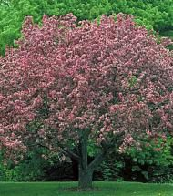 Crabapple/ Radiant | Pinelane Nursery Broad, rounded crown shape with red foliage turning bronze green with pink flowers and red fruit.
