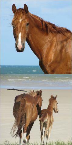 Wild and free at Rainbow Beach in the Gympie Cooloola Region. www.cooloola.org.au Rainbow Beach, Wild And Free, Horses, Animals, Animales, Animaux, Animal, Animais, Horse