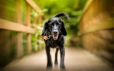 Download wallpapers black labrador, retriever, puppy, dogs, cute animals, pets, labradors