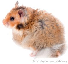 syrian hamsters - Google Search