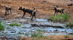 Wild Dogs and Croc on the Ngobeni Short Loop off the near Phalaborwa Kruger National Park, National Parks, African Wild Dog, Apex Predator, Wild Dogs, Hunting Dogs, Travel Photographer, Dog Walking, Wildlife Photography
