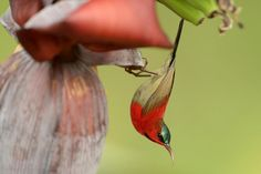 Crimson Sunbird - Aethopyga siparaja - kwiatownik szkarłatny