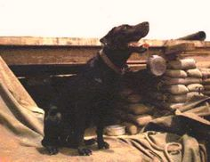 Sam, a black Labrador retriever used by several combat tracker teams with the 1st Cavalry Division (Airmobile) during the Vietnam War, sits outside of his bunker awaiting his next mission at Landing Zone Two Bits in Bong Son, 1967.