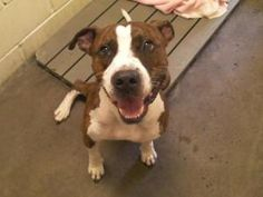 Buddy - NEEDS FOSTER! is an adoptable Terrier Dog in Woodbridge, NJ. Buddy is a 5 or 6 year old Pit Bull mix that was confiscated from his owners by animal control with his girlfriend Maxi. He was fou...